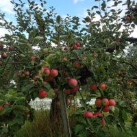 Sondre Green gård / AiR - eplehage