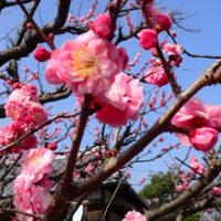 Prydkirsebær, Oita-ken