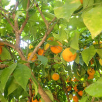 23_appelsiner